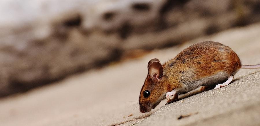 animal apodemus sylvaticus blur 209053 - Dealing with Pest Infestations