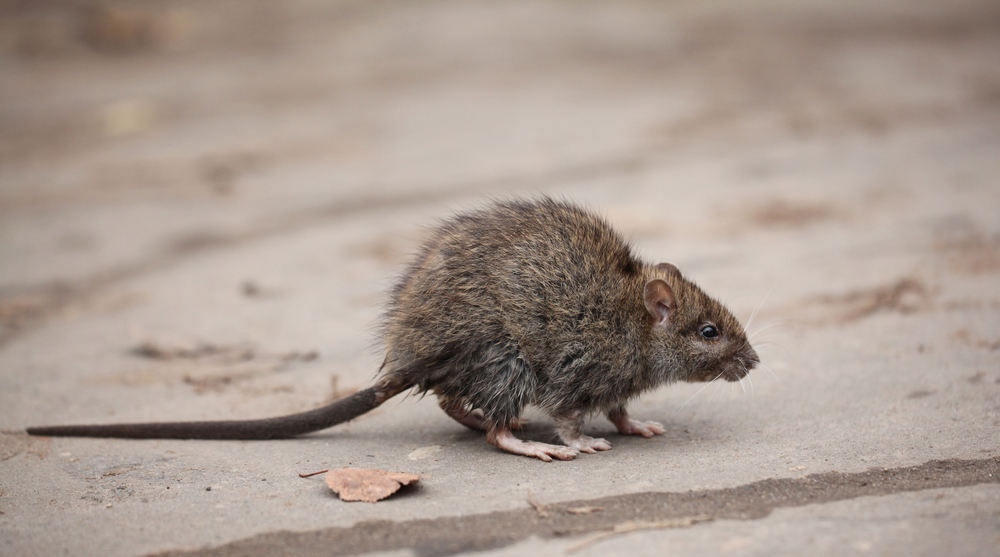 Depositphotos 34903673 s 2019 - Dealing with The Removal and Prevention of Rodents