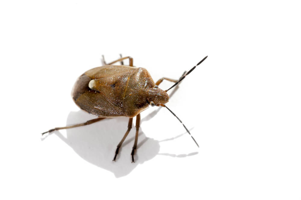 bedbugs - Bed Bugs: What Are They and How Do You Remove Them?